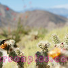 Borrego Springs Cactus Bloom and feeding Hummingbird