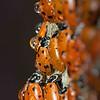 Ladybugs, Redwood Regional Park, Oakland, CA