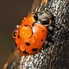 Ladybug, Redwood Regional Park, Oakland, CA