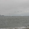 Sailboats & Pelicans, Crissy Field, June 2008