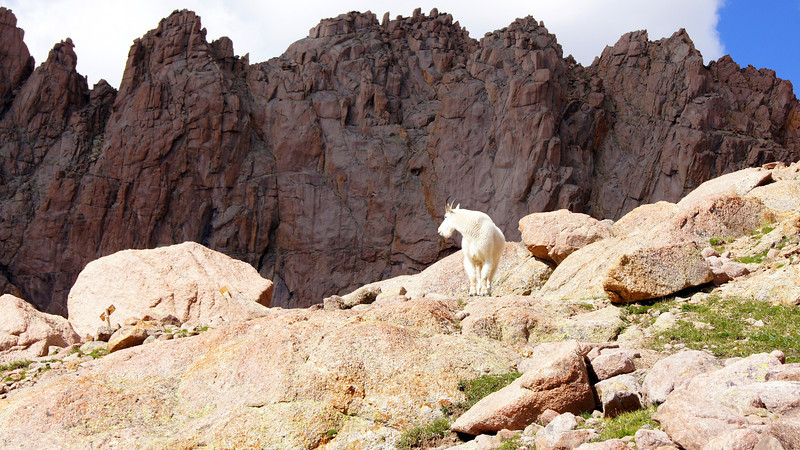 A Mountain Goat stands watch above Twin Lakes basin; Colorado San Juans.