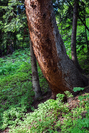 Ponderosa Pine and Forest Floor, Hope Lake Trail, Uncompahgre National Forest, Colorado