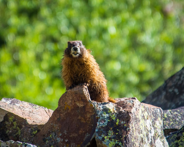 Yellow-bellied Marmot on the lookout
