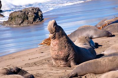 San Simeon Elephant Seal-3817