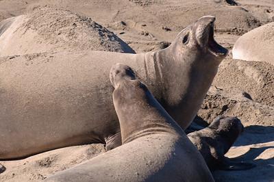 San Simeon Elephant Seal-3823