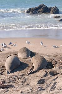 San Simeon Elephant Seal-3802
