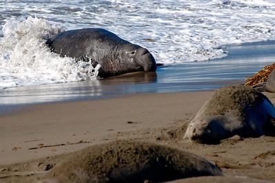 San Simeon Elephant Seal-3827