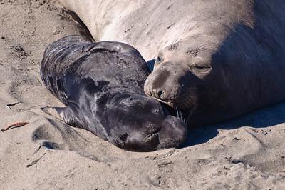 San Simeon Elephant Seal-3797
