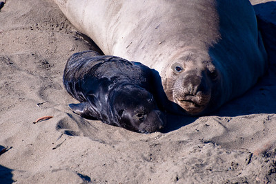 San Simeon Elephant Seal-3796