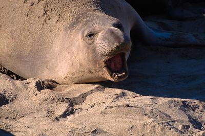 San Simeon Elephant Seal-3810