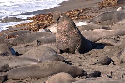 San Simeon Elephant Seal-3811