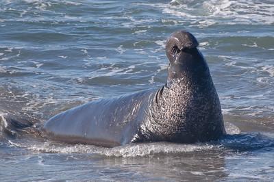 San Simeon Elephant Seal-3781