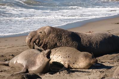 San Simeon Elephant Seal-3822