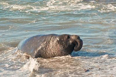 San Simeon Elephant Seal-3784