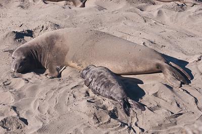 San Simeon Elephant Seal-3766