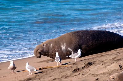 San Simeon Elephant Seal-3813