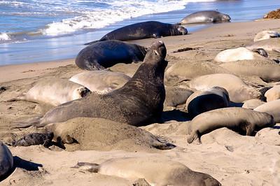 San Simeon Elephant Seal-3809