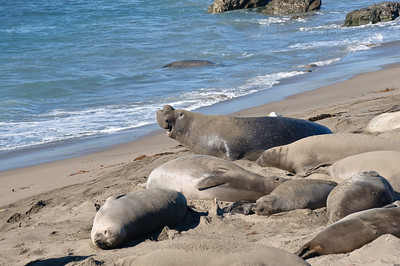 San Simeon Elephant Seal-3803