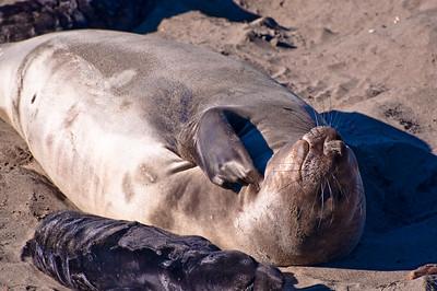 San Simeon Elephant Seal-3800