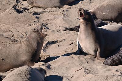 San Simeon Elephant Seal-3814