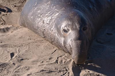 San Simeon Elephant Seal-3773