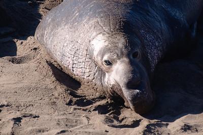 San Simeon Elephant Seal-3757