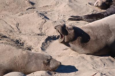 San Simeon Elephant Seal-3816