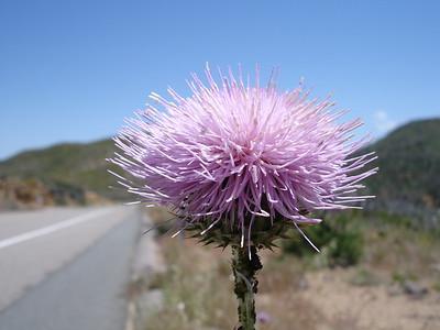Flower in Mt. Laguna