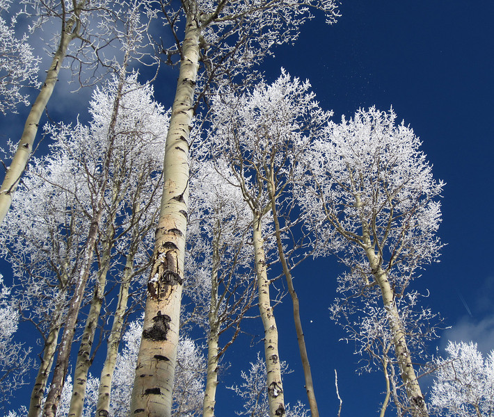 Frost on aspen in the Sangre de Cristo mountains