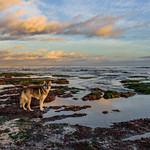 Capitola-Surfer-Dog_D816277