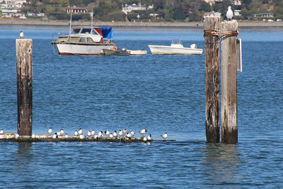 Sea birds and waterfowl nesting along the waters of Sausalito in the San Francisco Bay Area.