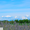Mt. St. Helens and lavender