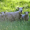 three Spring lambs looking at the camera with green grass in foreground and background