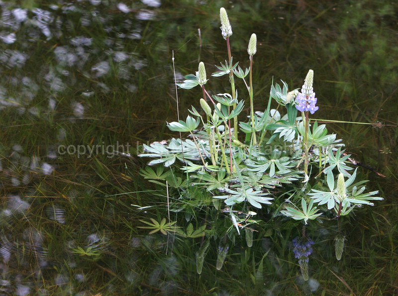 """""""Ripples"""" They never come back... Lodgepole Lupin #2"""