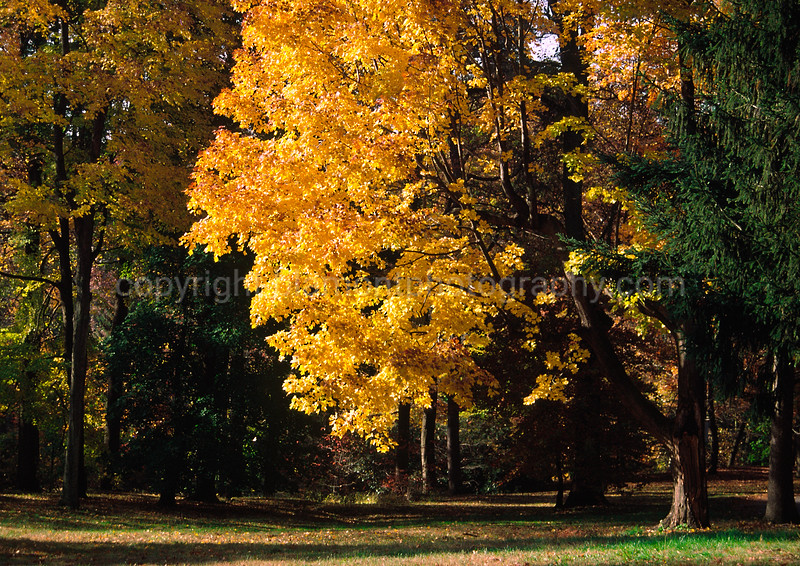 Fall maple and pines. Garden City, Chester, Pa. Inspired by Tim Cooper and Julieanne Kost (Adobe Evangelist)...-)