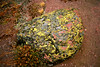 Lichen encrusted rock in Fall...Yellowstone Nat. Prk.