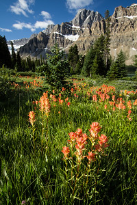 Indian Paintbrushes dot the landscape near Bow Lake
