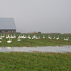 Swans in Skagit County