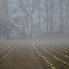 Foggy Field of Cabbage