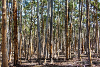 You Yangs Eucalyptus Forest