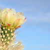 Cholla cacuts are blooming now at the lake..  pretty against the nice blue sky.