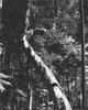 Whidbey Madrona  II