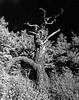 Bluff Tree, December 2016