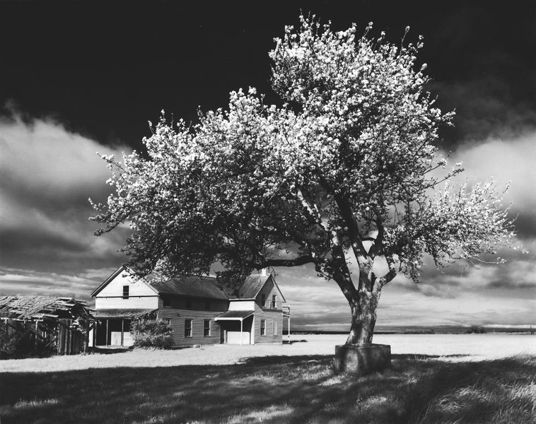 Ebey's Apple Tree  II
