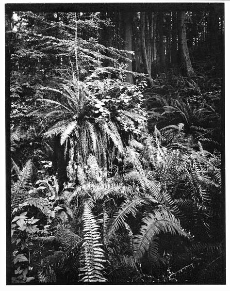 Raider Creek Ferns  I
