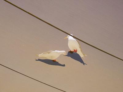 Pigeons above a sun tarp, San Diego