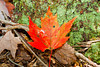 Grandfather Mountain Leaf 0070-1