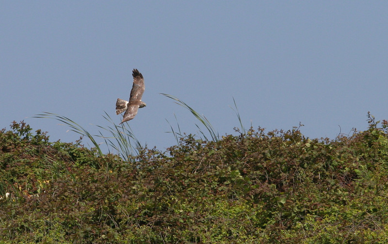 Northern Harrier, California coast 2009.