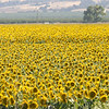 Sunflower field, California 2009.