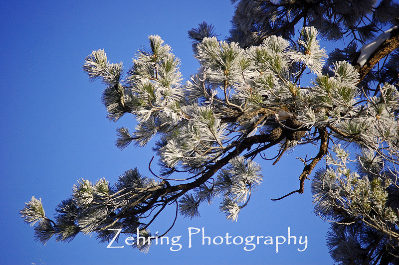 """The early morning mist left nature's """"flocking"""" to this pine branch."""